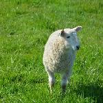This sheep looks curious