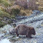 Wombat mother with her baby at Ronny Creek/Cradle Mountain