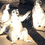 lemurs enjoying a little sunbathing
