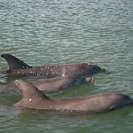 3 dolphin playing