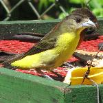 Female Yellow Tanager