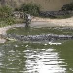 In der Tuaran Crocodile Farm