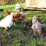 rare breeds hens