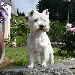 One of the little Westies