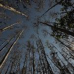 Tall cypress pines