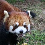 Red Panda, so cute