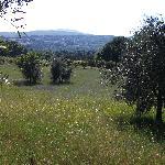 i fiori tra gli ulivi