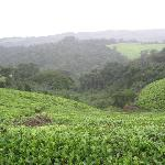 Surrounding tea estate