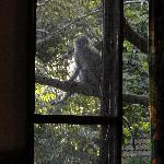 Vervet monkey right outside the chalet window