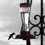 Lots of hummingbirds like this little guy.