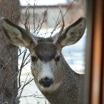 Deer looking in my window