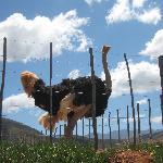 Berluda Ostrich