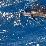Sailfish 60lbs