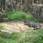 The dangerous salt water croc
