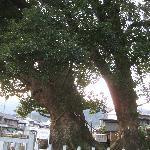 尾鷲神社 楠の大樹