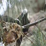 Black nobby feeding chick. Reused nests, often at eye level along walking paths, reek of droppin