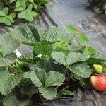 Strawberry farms