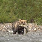 Grizz with Chum Salmon