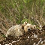napping bear cub