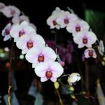 Orchids at Chiang Mai Flower Festival