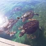 たくさんのウミガメ