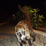 Coatis (Tejones Mexicanos)