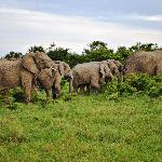 The Great Mpongo Elephants