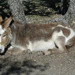 Hank the Donkey taking a siesta