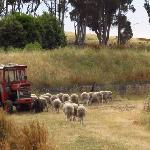Sheep grazing near a tractor.