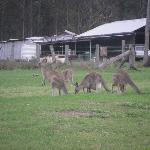 This one was taken a couple of years ago. There's always kangaroos around when we go though