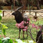 Ein Njala im Garten