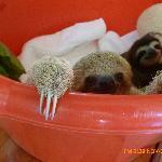 2 bébés paresseux avec leur peluche