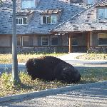 Bison outside Dunraven Lodge