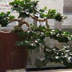 Krohn Conservatory bonsai room