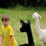 Encounter with the favorite Alpaca