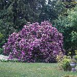That big rhododendron!