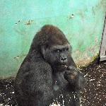 gorilla eating a xmas tree