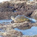 turtle in tide pool