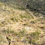 Saguaro Forest, Riparian Overlook, Cactus Forest Loop Drive