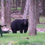 Bear at Promised Land S.P.