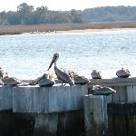 Pelicans at Harboutown