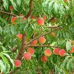 Fifer Orchards Delaware peaches