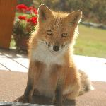 Scarlett the fox and our neighbor