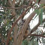 Koala hunting