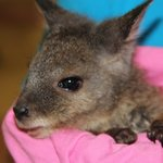 Hold a rescued baby wallaby
