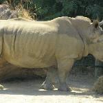 Rhino at Hamilton Zoo
