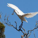 Royal Spoonbill at sanctuary