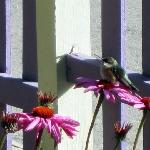 A hummingbird in the inn's garden.