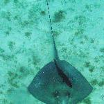 Ray and cleaner fish