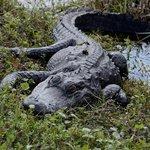 sleepy gator